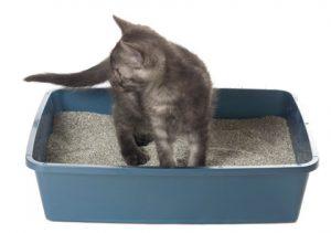 đặt mèo vô khay cát