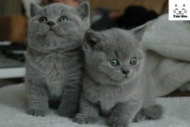 Mèo Anh Lông Ngắn giá bao nhiêu - mua bán mèo aln tại Hà Nội & TPHCM