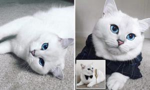 Mèo Anh Lông Ngắn (Aln) màu hyma