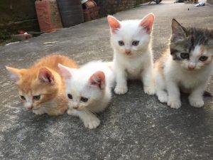 Các chú mèo anh lông ngắn lai dưới 3 triệu