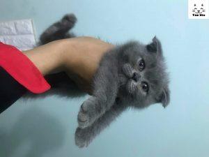 Mèo anh lông ngắn mặt tròn và rất béo