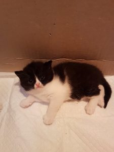 mèo aln màu bicolor