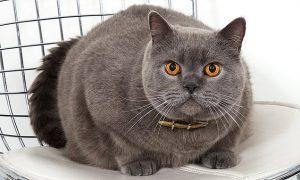 Một chú mèo anh lông ngắn nhập ngoại giá trên 1000$