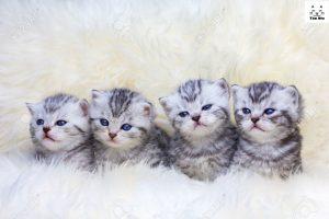 Mèo Anh Lông Ngắn chăm sóc đơn giản nhưng cũng cần rất tỉ mỉ