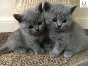 Mèo Anh Lông Ngắn rất thân thiện và yêu mến trẻ nhỏ