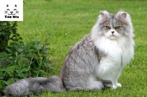 một chú mèo anh lông dài trưởng thành