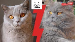 cân nặng và tuổi thọ của mèo anh lông dài
