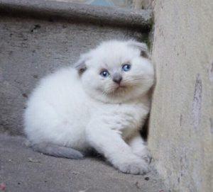 Một chú mèo Anh lông ngắn chuẩn bị được xì pa
