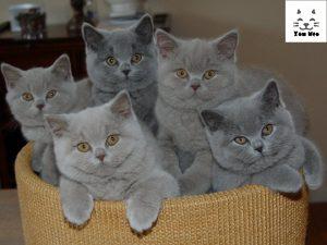 Mèo anh lông ngắn có nguồn gốc từ nước Anh