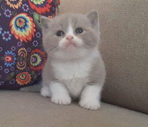 mèo anh lông ngắn (aln) màu bicolor