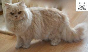 địa chỉ mua bán mèo anh lông dài uy tín tại hà nội & tphcm