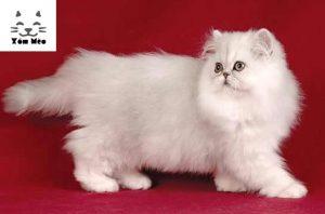mèo anh lông dài giá bao nhiêu tiền