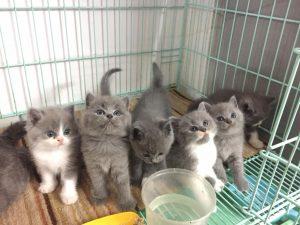 địa chỉ mua bán mèo anh lông ngắn tại hà nội & TPCHM