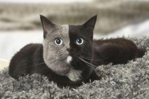 mèo anh lông ngắn thích ăn gì