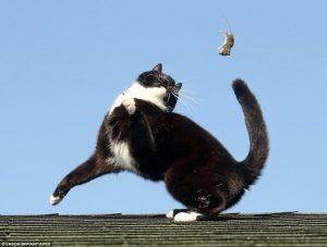 mèo ba tư có bắt chuột không