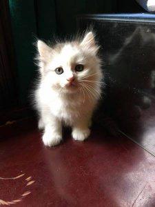 mèo lai - mèo giá rẻ