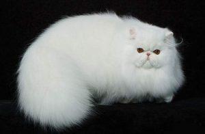 giá mèo ba tư tại hà nội & tphcm