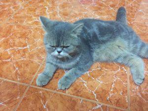địa chỉ mua mèo ba tư uy tín tại hà nội & tphcm
