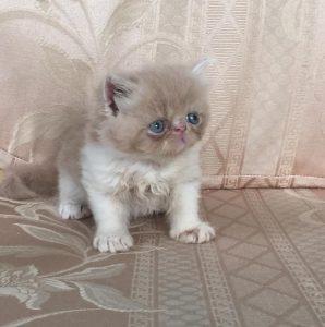 mua bán mèo ba tư tại hà nội & tphcm