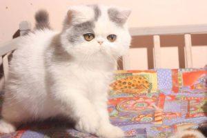 mèo exotic thuần chủng