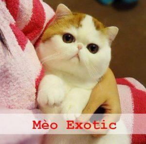 nguồn gốc đặc điểm của mèo exotic