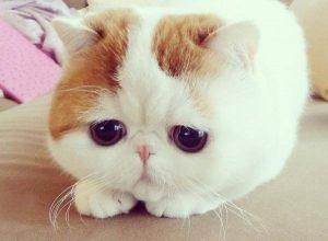 Một chú mèo exotic baby rất dễ thương