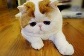 giá mèo exotic tại hà nội & tphcm