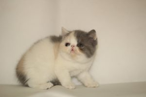 chăm sóc nuôi dưỡng mèo Exotic