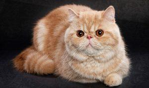 mua bán mèo exotic tại hà nội & tphcm