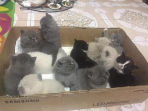 Các chú mèo Anh lông ngắn (ALN) thuần chủng đẹp được mua bán tại hà nội & tphcm