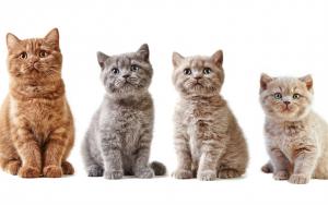 Một số màu khác của mèo anh lông ngắn