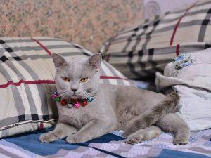 mèo anh lông ngắn lilac