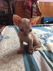 mèo Sphynx Ai cập không lông con