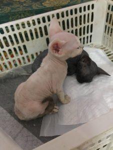 mèo Sphynx Ai cập không lông mua bán ở đâu giá bao nhiêu tại Hà Nội & TPHCM 4