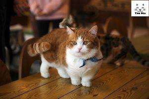 Ngoại Hình Của Một Chú mèo Munchkin chân ngắn lùn