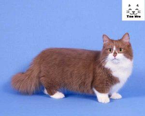 nguồn gốc của mèo munchkin chân ngắn lùn