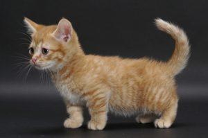 chăm sóc mèo munchkin chân ngắn
