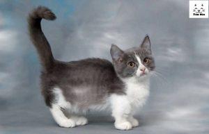 Mèo Munchkin có tính cách hiền lành thân thiện với trẻ nhỏ