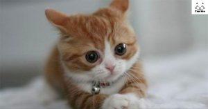 cách chăm sóc mèo Munchkin chân ngắn lùn