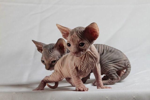 mèo Sphynx Ai cập không lông mua bán ở đâu giá bao nhiêu tại Hà Nội & TPHCM