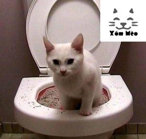 dạy mèo anh lông ngắn (aln) british shorthair đi vệ sinh trong bồn cầu