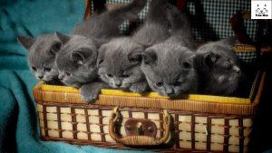 Tìm mua Mèo Anh Lông Ngắn (aln) Bristish Shorthair ở Bình Dương & Biên Hòa & Bến Tre