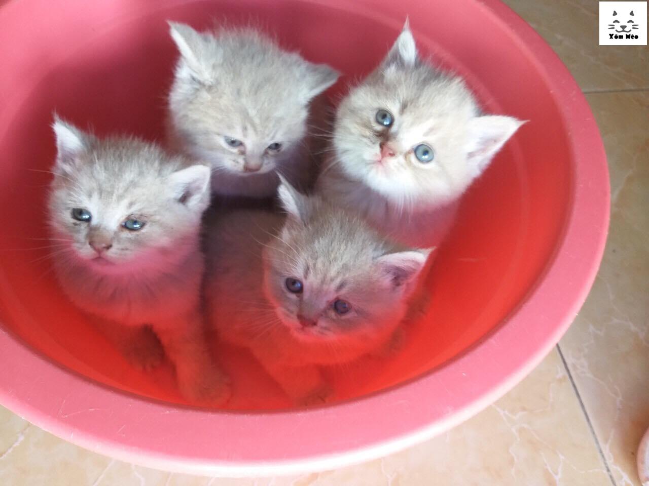 phương pháp dạy mèo anh lông ngắn (aln) british shorthair đi vệ sinh đúng chỗ ở trong nhà