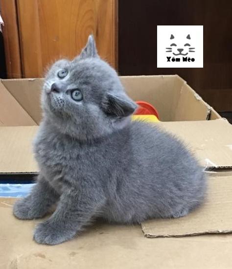 mua mèo anh lông ngắn (aln) British Shorthair tại Hải Phòng & Quảng Ninh