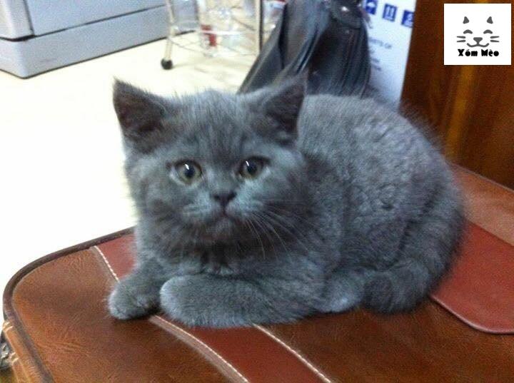 Cách chọn mèo anh lông ngắn (aln) british shorthair về nuôi