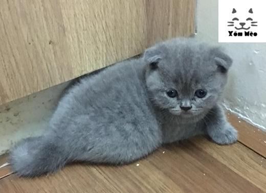 thức ăn nuôi mèo anh lông ngắn (aln) british shorthair như thế nào