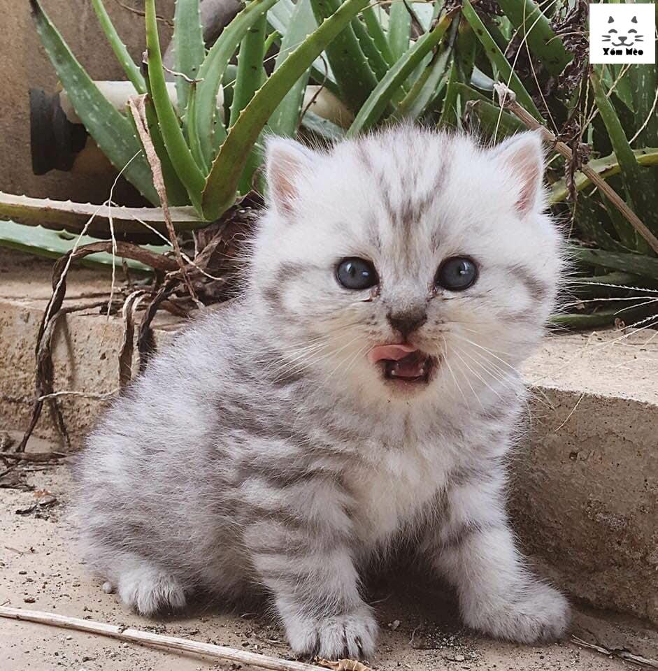 Chăm sóc nuôi dưỡng mèo anh lông ngắn (aln) british shorthair con