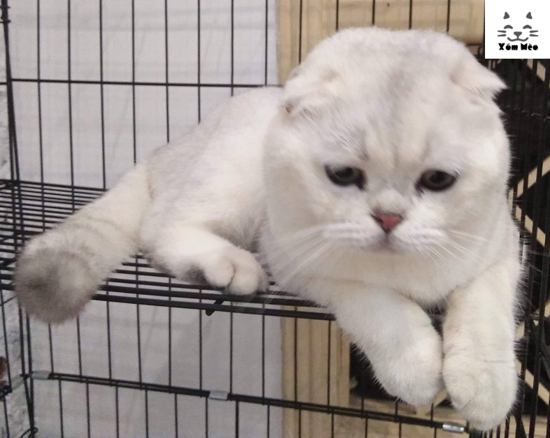Chăm sóc nuôi dưỡng mèo anh lông ngắn (aln) british shorthair chửa