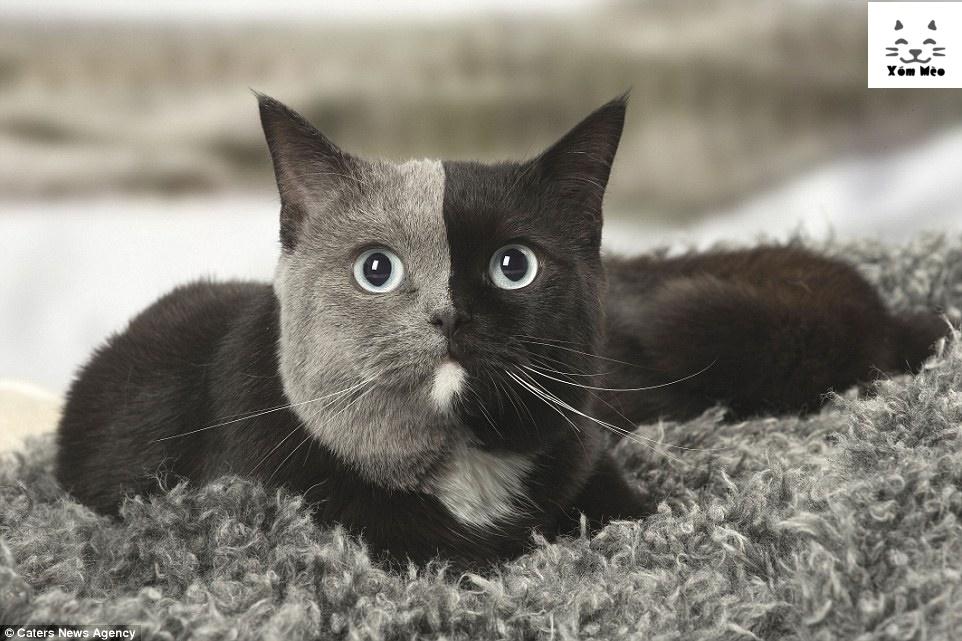 Thông tin về mèo anh lông ngắn (aln) - Bristish ShortHair