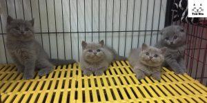 chăm sóc mèo anh lông ngắn (aln) như nào cho đúng cách